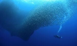 Bluewaterfascination filming hunting thresher sharks in sardine shoal Moalboal