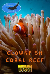 Bluewaterfascination underwater film Clownfish Coral Reef HD for sale