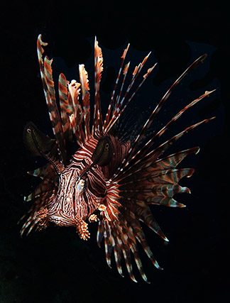Royalty free stock footage lionfish