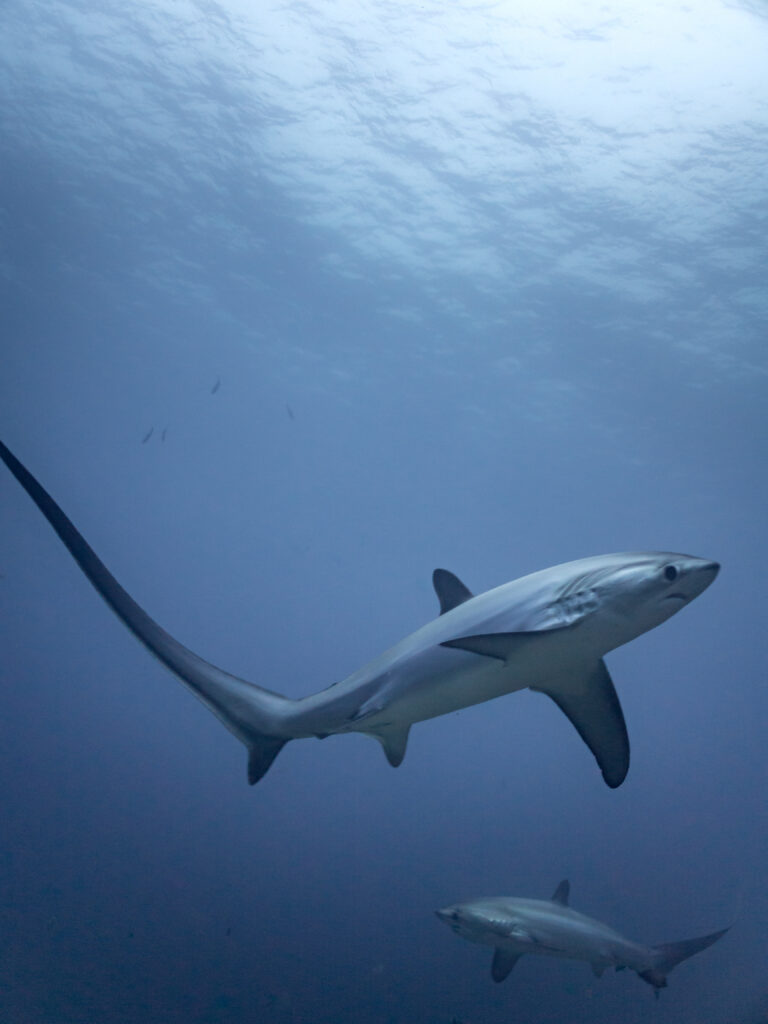 thresher sharks hunt with their tails